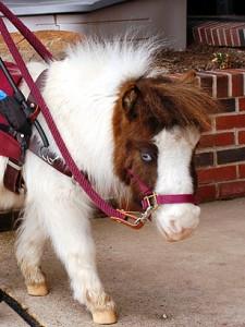 miniature_horse